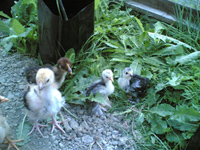 Barnevelder and Light Sussex chicks