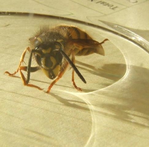 queen wasp size sandrar queen wasp is thisQueen Wasp Size