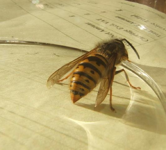 Queen Wasp Size Queen wasp