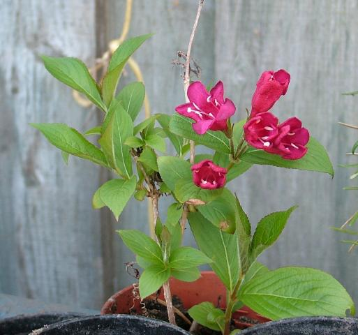 Help identifying red flowered shrub please mightylinksfo