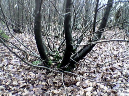 Growing coppice